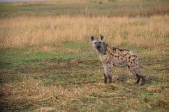 Position d'hyène Photos stock