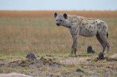 Position d'hyène Photo stock