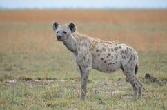 Position d'hyène Photos libres de droits