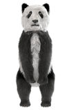 Position d'ours panda Image libre de droits