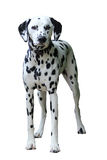 Position dalmatienne, d'isolement sur un fond blanc Photos stock