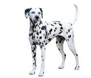 Position dalmatienne, d'isolement sur un fond blanc photos stock