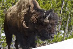 Position de Buffalo Image libre de droits