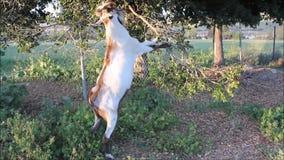 Position de chèvre pour manger des feuilles d'arbre banque de vidéos