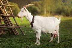 Position de chèvre sur un pré de ferme Photo de côté photographie stock libre de droits