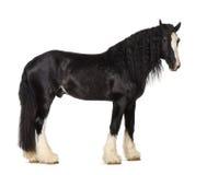 Position de cheval de comté Image libre de droits