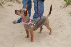 Position de chien croisée petit par yorskhire photo stock