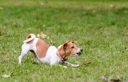 Position de chien dans la pose de avertissement ?cor?ant et grondant images libres de droits