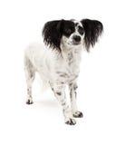 Position de chien de race de mélange de Papillon Photo libre de droits