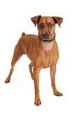 Position de chien de race de mélange de Pinscher miniature Photos stock