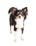 Position de chien de race mélangée par chiwawa attentif Photos libres de droits