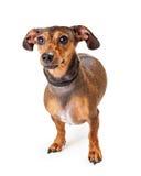 Position de chien de race mélangée petit par teckel Photographie stock libre de droits