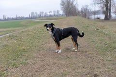Position de chien de montagne d'Appenzeller sur l'herbe photo stock