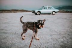 Position de chien de Schnauzer sur une laisse sur le sable avec une voiture bleu-clair de cru à l'arrière-plan image stock