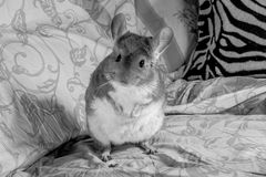 Position de chinchilla Images stock