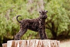Position de chiot de chien terrier de bleu de Kerry Images stock