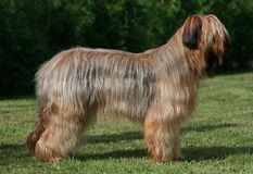 Position de crabot de Briard Photo libre de droits