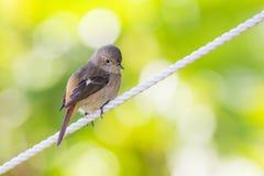 Position de Daurian Redstart Photographie stock