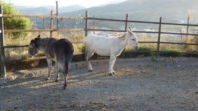 Position de deux ânes dans le corral images stock