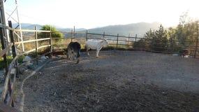 Position de deux ânes dans le corral photo stock