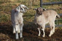 Position de deux chèvres de bébé Image libre de droits