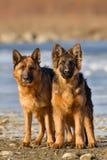 Position de deux chiens photographie stock libre de droits