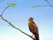 Position de faucon Photos libres de droits