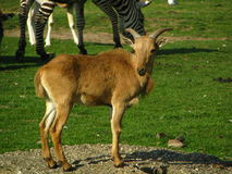 Position de gazelle Image stock