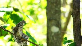 Position de Hawk Bird de moineau sur la branche d'un arbre banque de vidéos