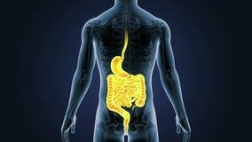 Position de l'estomac, intestin avec le squelette au corps humain illustration libre de droits