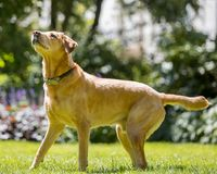 Position de Labrador prête sur l'herbe recherchant sur une langue de jour ensoleillé  photographie stock libre de droits