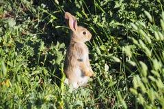 Position de lapin regardant l'horizon photographie stock libre de droits