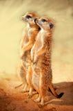Position de Meerkat Photographie stock libre de droits