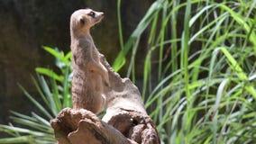 Position de moment de Meerkats sur une roche et regard autour Meerkat observant la position regarder autour