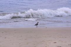 Position de mouette au bord de l'eau sur la plage photo libre de droits