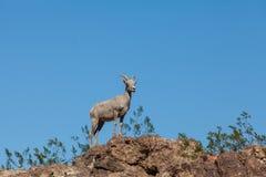 Position de mouflons d'Amérique de désert Images stock