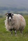 Position de moutons Photos stock