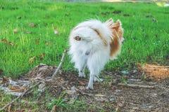 Position de pipi de petit chien mignon  image stock