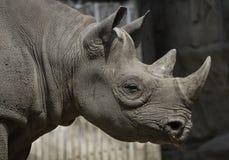 Position de rhinocéros photographie stock libre de droits
