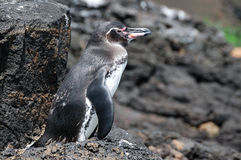 position de roche de pengunin de Galapagos Photos stock