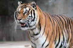 Position de tigre sibérien (altaica du Tigre de Panthera) Photos libres de droits