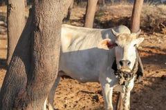 Position de vache derrière l'arbre dans le secteur de village rural photographie stock libre de droits