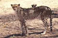 Position et observation de guépard Image stock