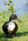 Position et observation foncées de canard Photos libres de droits