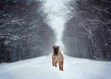 Position forte de Shar Pei dans une forêt d'hiver Photo stock
