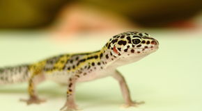 Position juvénile de gecko de léopard image stock