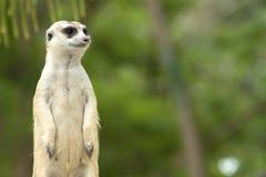 Position mignonne de meerkat Image stock