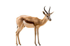 Position namibienne de springbok, plein corps, d'isolement sur le backgr blanc Photos stock