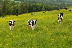Position noire et blanche curieuse de vaches du Holstein regardant fixement dans un domaine accidenté couvert dans les wildflower images stock