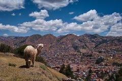 Position péruvienne de lama sur la colline près de Cusco photo libre de droits